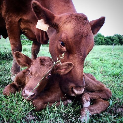 Red Angus mother and Calf at Deer Run Farm