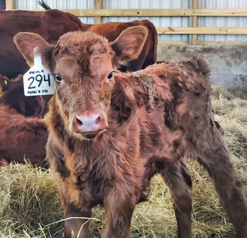 Deer Run Farm's Red Angus Calf