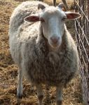 Gulf Coast Sheep
