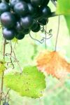 Black Muscadine grapes