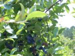 indigo blueberries