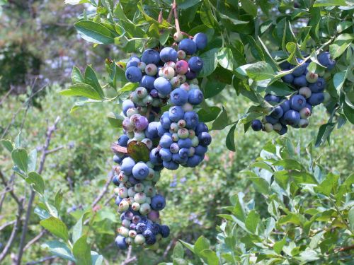 blueberries at Indigo