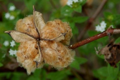 Brown cotton