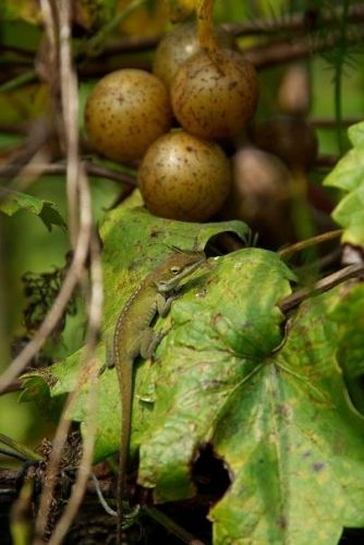 Lizard with muscadine grapes