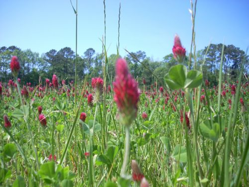 crimson clover/ oats