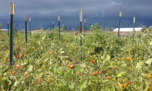stormy sky over tomato plants
