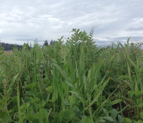 lush cover crop