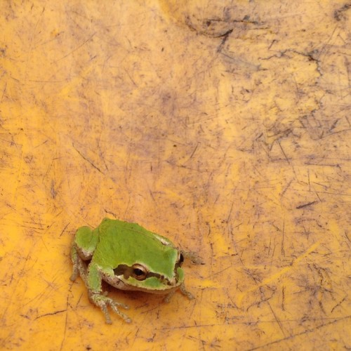 Pacific tree frog in a wheelbarrow