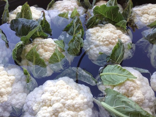 cauliflower floating in the wash tub