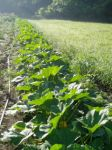 Morning Light on the summer squash plants