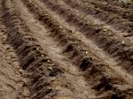 Silty soil and baby lettuces