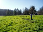 Cover crop of Barley and Clover and Free Seeded Silver Maples going on 4 years old, '13s old