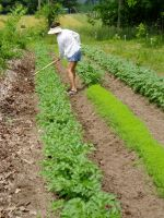 Second hilling of Purple Sun Potato Row on May 20th