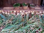 Australian Brown Onions with drying Basil in background