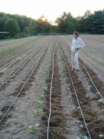 Allison out in the Overwintering Cabbages before the big first day of Fall Rain