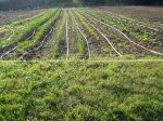 Overview of the Overwintering Genuine Vegetable Crops