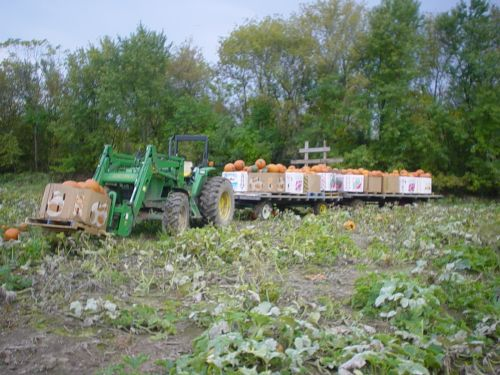 Picking pumpkins for fall harvest