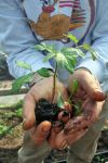 First tomato planted for 2009,