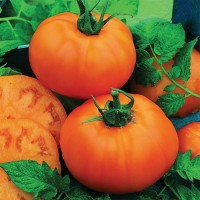 Tomato Plant- Chef's Choice Orange