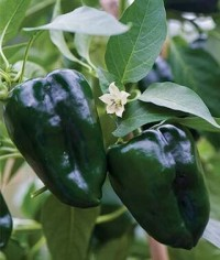 Pepper plants- Ancho Pablano