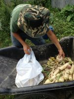 Harvesting daikon radishes