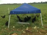 We got black chickens on the premise that hawks think they are crows and won't bother them.  So far so good!
