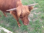 Ruby - our Highland heifer