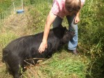 Meet Buttercup, our short-nosed AGH boar