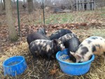 We are loving our new heritage pigs - Kune Kunes.  As friendly as AGH's but better on pasture.  Got these guys from Windy Knoll Acres Farm in Ohio.