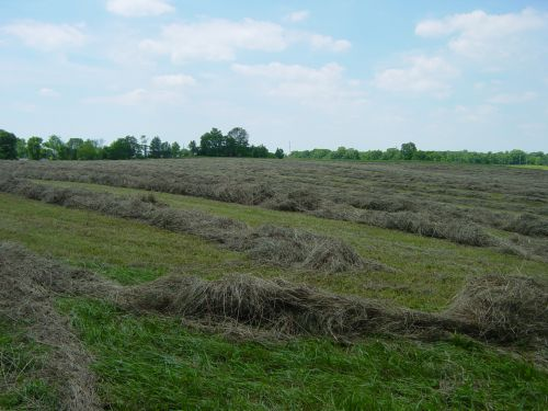 Hay Windrows
