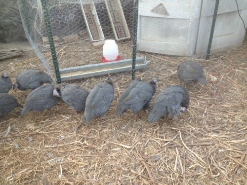12 more unseen keets inside fenced in mini-coop (1+ months old)