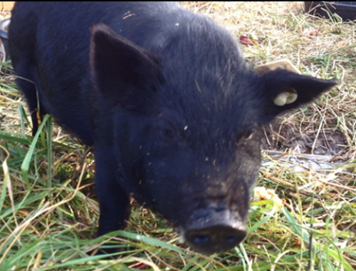 Have you met our 5 American Guinea Hogs?  Pictured is Spiggy, one of our registered gilts.