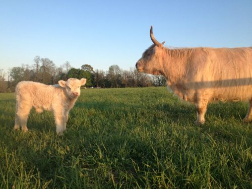 Our newest calf