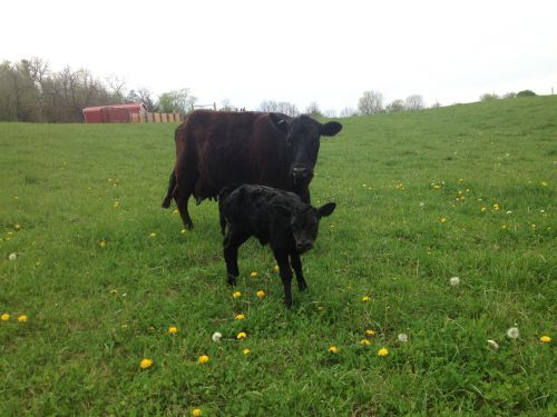 We are delighted to welcome April, our new Dexter calf