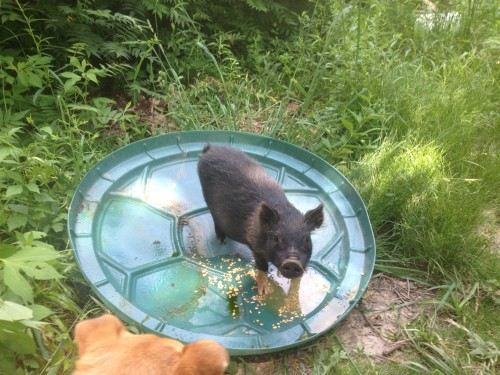 Meet Twinkie - our free range pig.  She is a runt - we let her run free so she gets more to eat.  She stays close at hand and gets along with dogs, cats, people