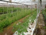 Tomatoes & Sweet Peas