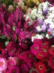 CELOSIA, STOCK AND ZINNIAS