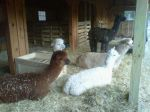 Just before shearing day, 2010