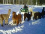 Alpacas love our tractor