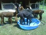 Alpacas cooling off