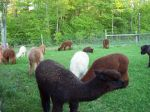 Alpacas full fleece May2013
