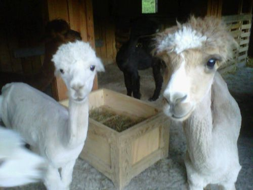 Bo & Coty after shearing 2010