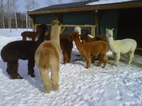 Alpacas in the paddock on a snowy day