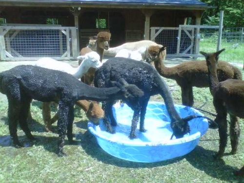Alpacas checking out the pool