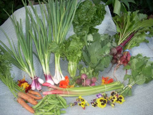 Full share week 14; swiss chard, endive, lambs quarter, green garlic, green onion, carrots, beets, radishes, sugar snap peas, edible flowers, rhubarb, mint