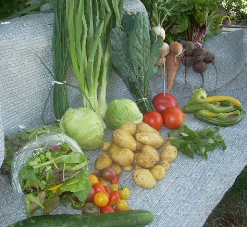 Full Share week 19; salad greens, kale, cabbage, beets, carrots, turnips, summer squash, tomatoes, new potatoes, cucumber, chives, herb