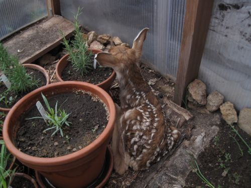 Dharma the deer in the greenhouse