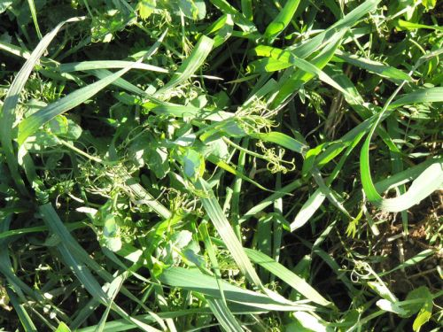 2011 Cover crop of Oats, Peas and Vetch
