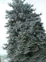 The pine tree in front of the store - frosted!