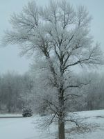 Our big maple tree covered with frost